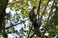 Scaled Chachalaca (Ortalis squamata) ©WikiC