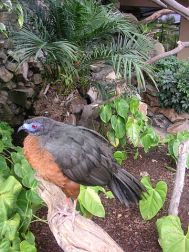 Sickle-winged Guan (Chamaepetes goudotii) ©WikiC
