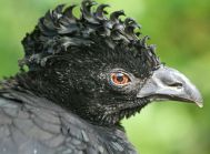 Yellow-knobbed Curassow (Crax daubentoni) Female ©WikiC
