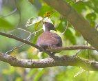 Dusky Megapode (Megapodius freycinet) ©Rob Hutchinson-IBC