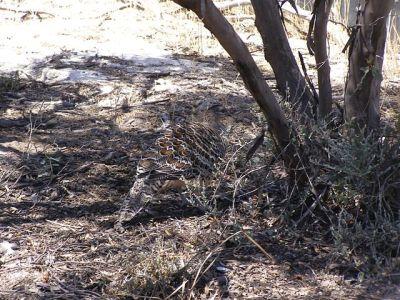 Malleefowl (Leipoa ocellata) Camouflaged©WikiC