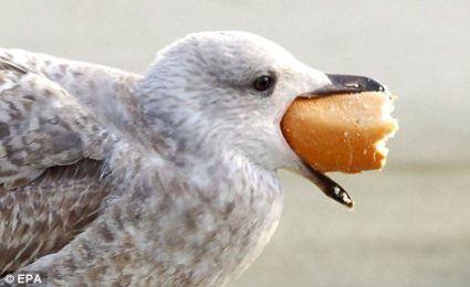 Gull With Bread ©DailyMail UK