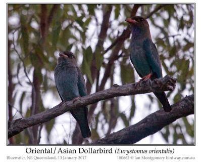 pas-dollarbird