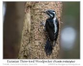 pic-pici-eurasian-three-toed-woodpecker-picoides-dorsalis-by-ian-3