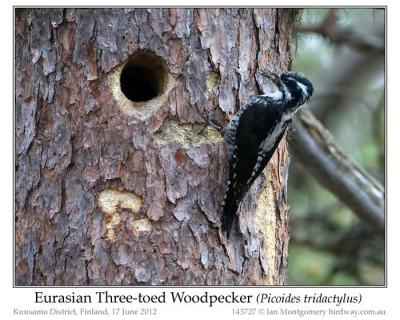 pic-pici-eurasian-three-toed-woodpecker-picoides-dorsalis-by-ian-5