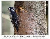 pic-pici-eurasian-three-toed-woodpecker-picoides-dorsalis-by-ian