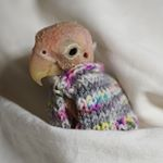 Rhea, The Featherless [bald] Lovebird
