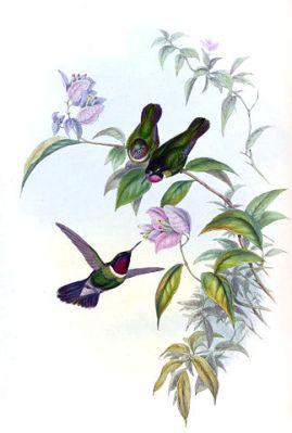 Longuemare's Sunangel (Heliangelus clarisse) ©Drawing WikiC