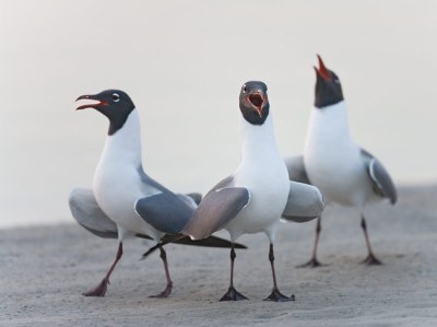 Laughing Gull (Leucophaeus atricilla) displaying ©Birdsasart