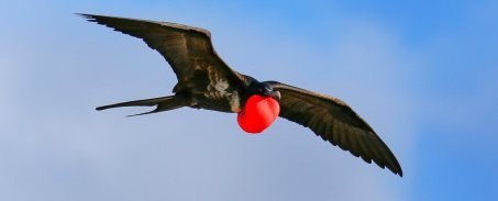 FrigateBird©Sciencealert