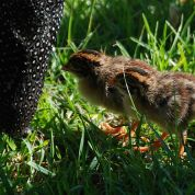 Helmeted Guineafowl (Numida meleagris) Chicks ©WikiC