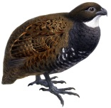 Black-breasted Wood Quail (Odontophorus leucolaemus) ©DrawingWikiC