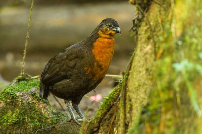 Dark-backed Wood Quail (Odontophorus melanonotus) ©WikiC