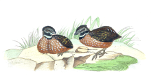 Gorgeted Wood Quail (Odontophorus strophium) ©Drawing WikiC