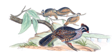 Long-tailed Wood Partridge (Dendrortyx macroura) ©Drawing WikiC