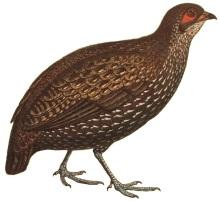 Nahan's Partridge (Ptilopachus nahani) ©WikiC