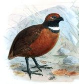 Rufous-fronted Wood Quail (Odontophorus erythrops) ©DrawingWikiC
