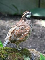 Yucatan Bobwhite (Colinus nigrogularis) ©WikiC