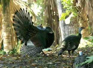 Ocellated Turkey (Meleagris ocellata) by Kent Nickel