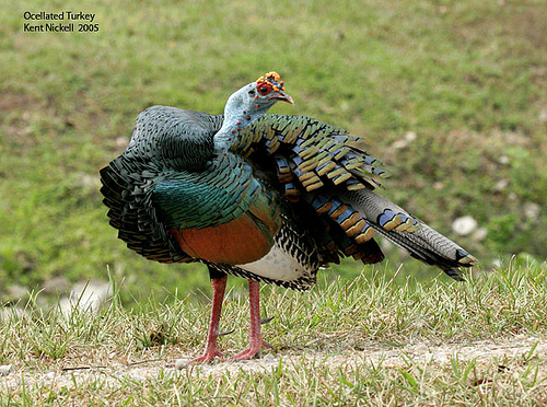 Ocellated Turkey (Meleagris ocellata)3 by Kent Nickel