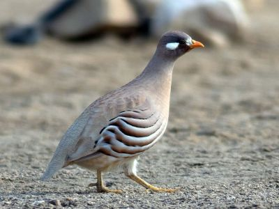 GAL-Phas Sand Partridge (Ammoperdix heyi) ©WikiC