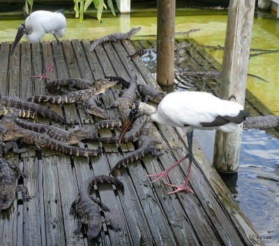 Wood Stork Stealing Young Alligator's Food at Gatorland by Lee