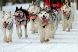 Celebrating the Life-Saving Heroism of Alaskan Dog Mushers (and their Sled Dogs) –Repost