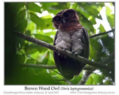 Brown Wood Owl (Strix leptogrammica) by Ian
