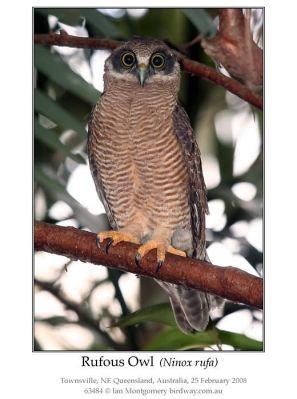 Rufous Owl (Ninox rufa) by Ian