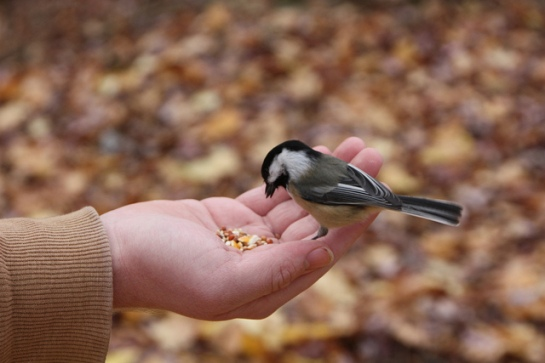 Chickadee Eating From Hand ©Flickr Ted Sakshaug