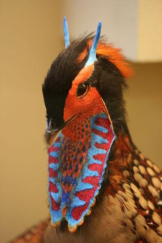 Cabot's Tragopan (Tragopan caboti) Head Feathers ©WikiC
