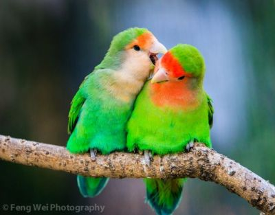 Peach-faced Lovebird, shot in Shanghai Zoo (Whispering Lovebirds) ©Feng Wei