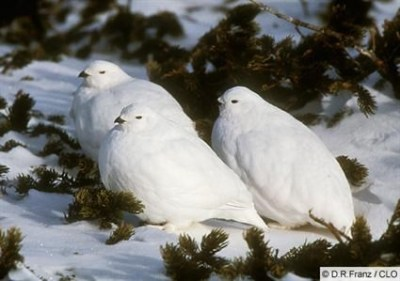 White Birds in Snow ©AllAboutBirds - DR Franz