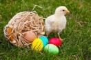 Baby Chicken with colorful easter eggs ©Colorbox