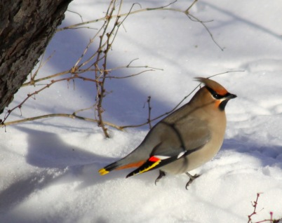 Cedar-Waxwing-in-snow.AnonymousRetiree-PublicDomain