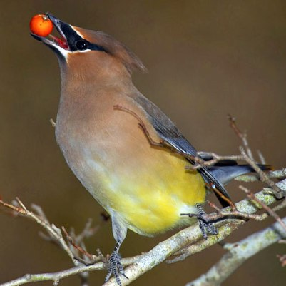 Cedar-Waxwing-with-berry.Smithsonian