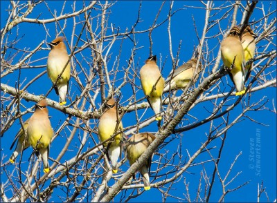 Cedar-Waxwings.WinterTexas-perching-Schwartzman