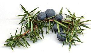 juniper-berries-with-needleleaves.Wikipedia