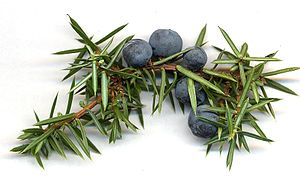 juniper-berries-with-needleleaves.Wikipedia