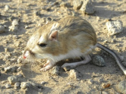 Why Kangaroo Rats Don't Get Dehydrated in the Desert