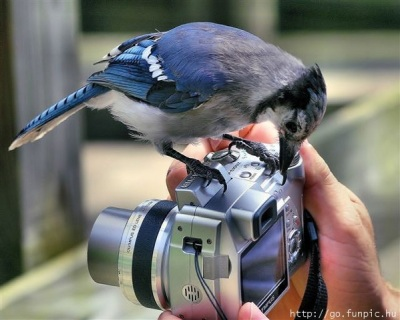 Blue Jay on Camera ©Funpic