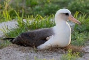 Laysan Albatross (Phoebastria immutabilis) Oldest Albartos named Wisdom ©EarthSky