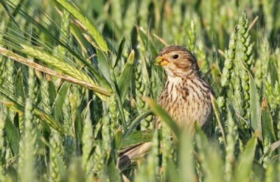 Corn Bunting (Emberiza calandra) In the barley harvest ©Vinehousefarm