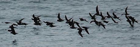 Black Storm Petrel (Oceanodroma melania) ©WikiC