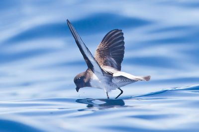 Grey-backed Storm Petrel (Garrodia nereis) ©WikiC