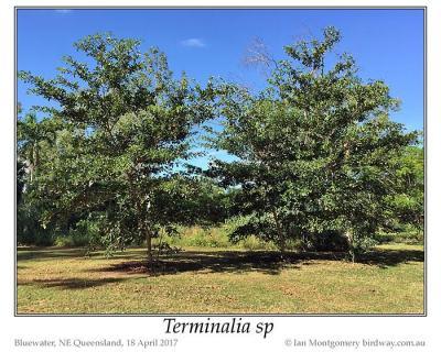 Terminalia sp