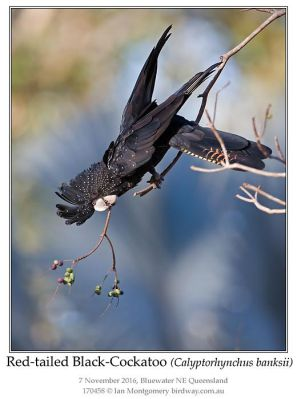 Red-tailed Black Cockatoo (Calyptorhynchus banksii) by Ian