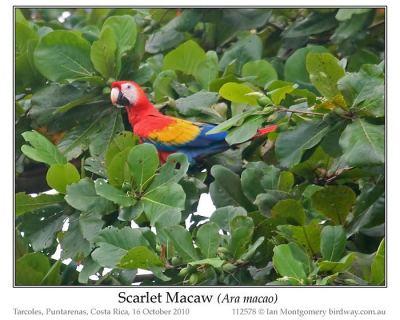 Scarlet Macaw (Ara macao) by Ian