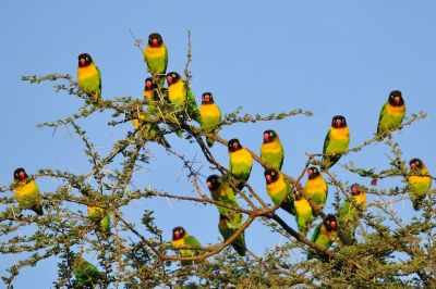 Black-cheeked Lovebird (Agapornis nigrigenis) ©ImagesFromAfrica