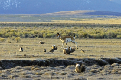 SageGrouse-with-Pronghorn.sagebrush.jpg